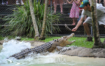Feeding one of the crocodiles
